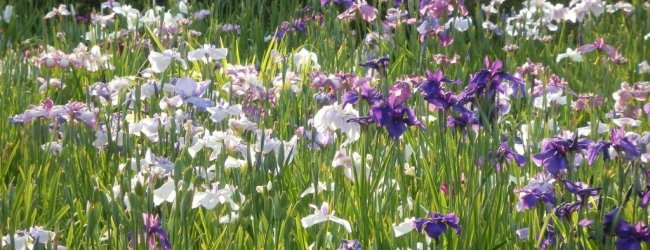 10 Best Iris Gardens to Visit in Japan