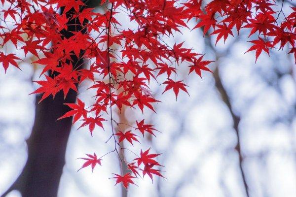 inokashira_park_maple_leaves
