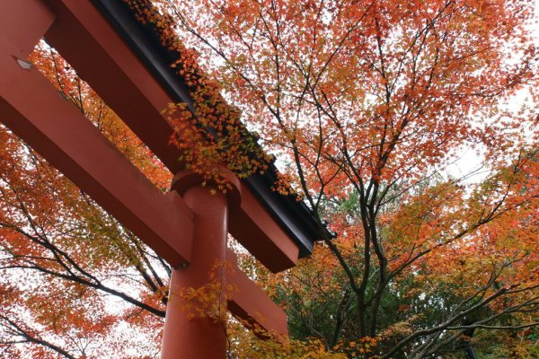 red_torii_gate_and_maple_leaves_on_takaosan