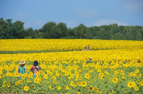 sunflower_field_in_hokuryu_cho