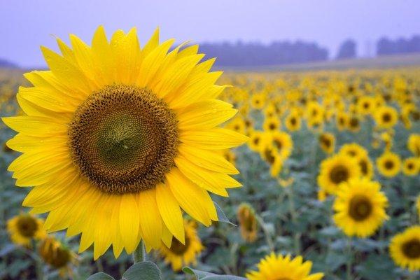 sunflowers_in_hokuryu_hokkaido