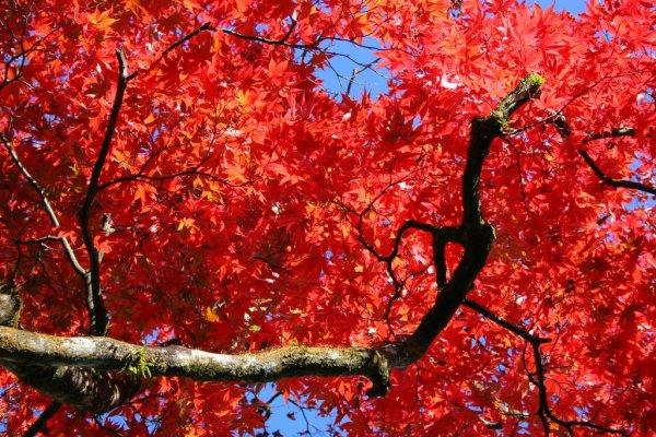 red_maple_leaves_in_shoyoen_garden