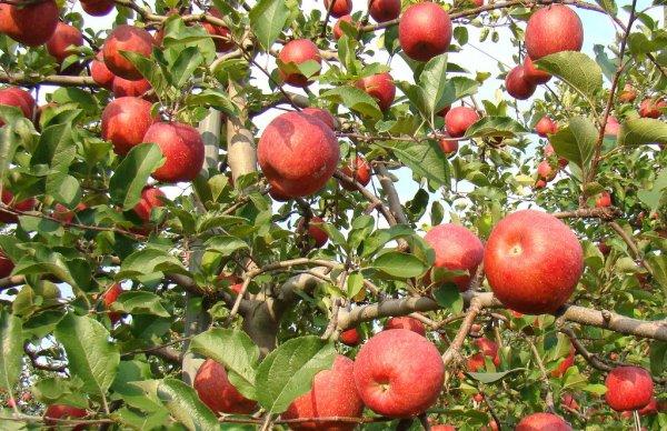 aomori_apple_season_tohoku_japan
