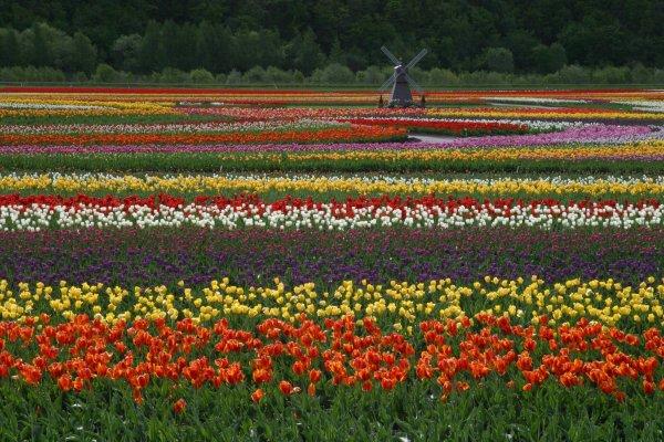 kamiyubetsu_tulip_park_rainbow_field