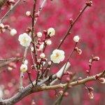ume_blossoms_atami_baien_shizuoka