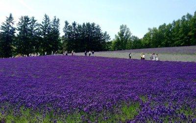 lavender_farm_tomita_in_furano