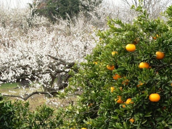 soga_bairin_ume_groves_and_oranges