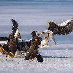 stellers_sea_eagles_lake_furen_nemuro_hokkaido