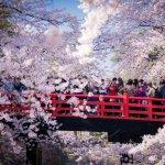 cherry_blossom_hirosaki_castle_bridge_aomori
