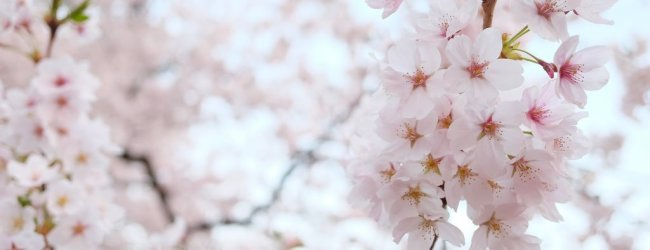 10 Best Places to See Cherry Blossom in Tohoku