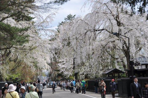 cherry_blossoms_kakunodate_samurai_residences_in_akita