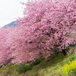 kawazu_cherry_blossom_festival_japan