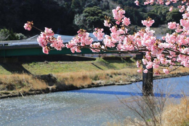 cherry blossom festival 2020 - 800×534