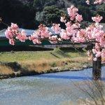 Kawazu Cherry Blossom Festival 2019   Visit Shizuoka