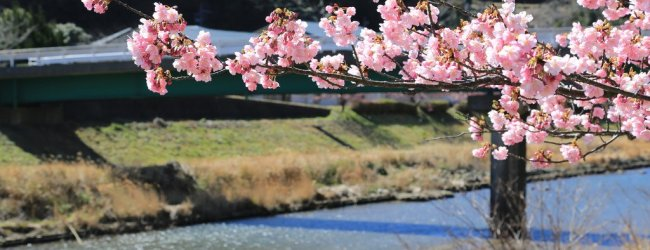 Kawazu Cherry Blossom Festival 2019 | Visit Shizuoka