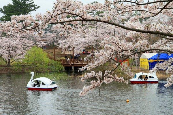 lake_ashino_cherry_blossoms_aomori_japan