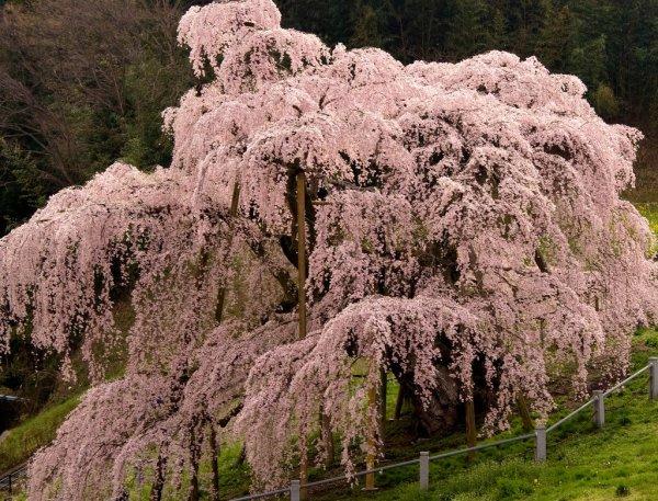 miharu_takizakura_sakura_tree_japan