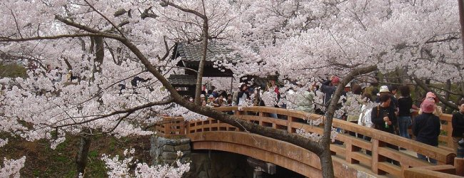 Takato Castle Ruins Park Cherry Blossom Festival 2019