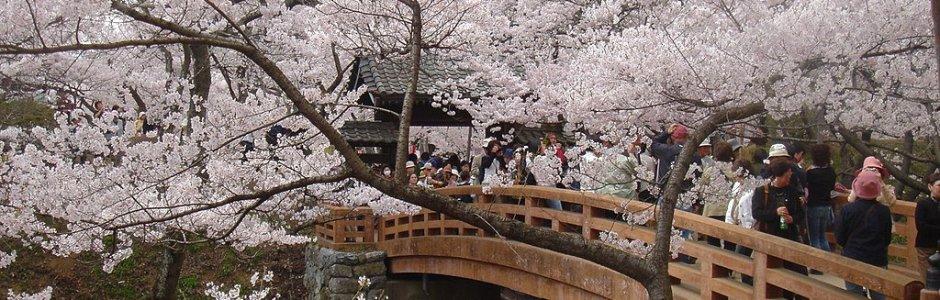 Takato Castle Ruins Park Cherry Blossom Festival 2020