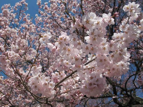 takato_kohigan_cherry_blossoms