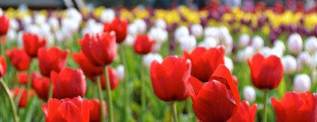 Huis Ten Bosch Tulip Festival | Visit Nagasaki