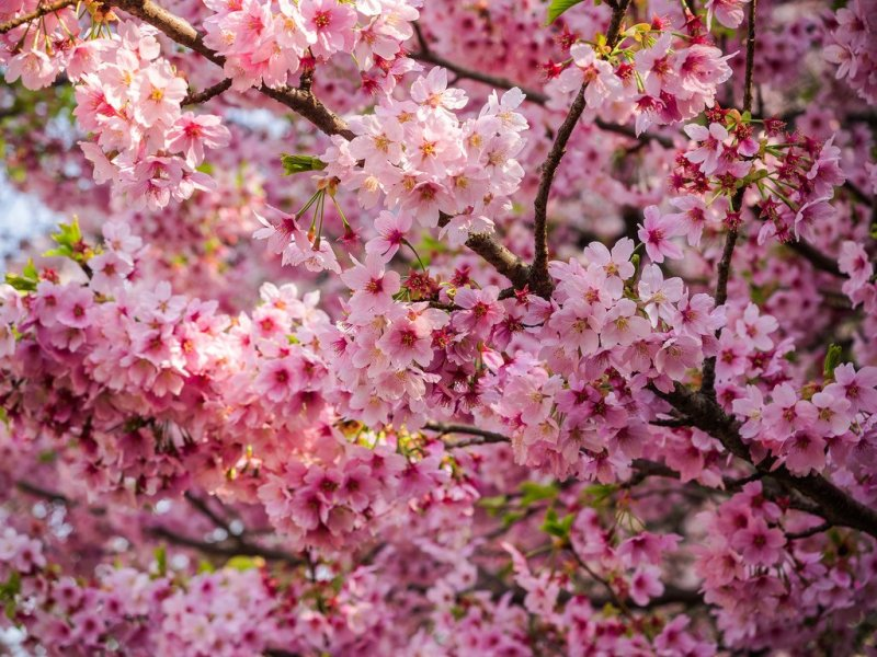 10 Most Popular Sakura Varieties In Japan Kyuhoshi