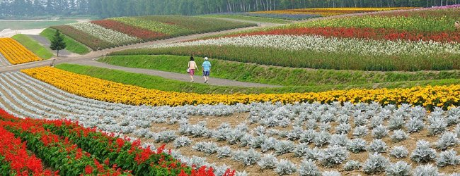 10 Beautiful Flower Farms in Furano and Biei