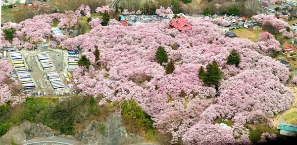 takato_castle_ruins_park_cherry_blossoms_nagano