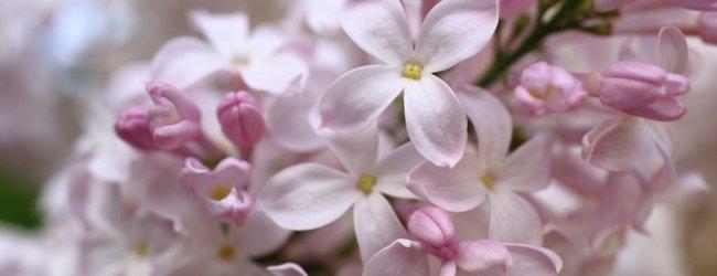 Sapporo Lilac Festival 2020 | Hokkaido Spring