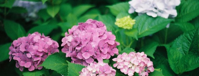 Hydrangea (Ajisai) Season in Japan 2020