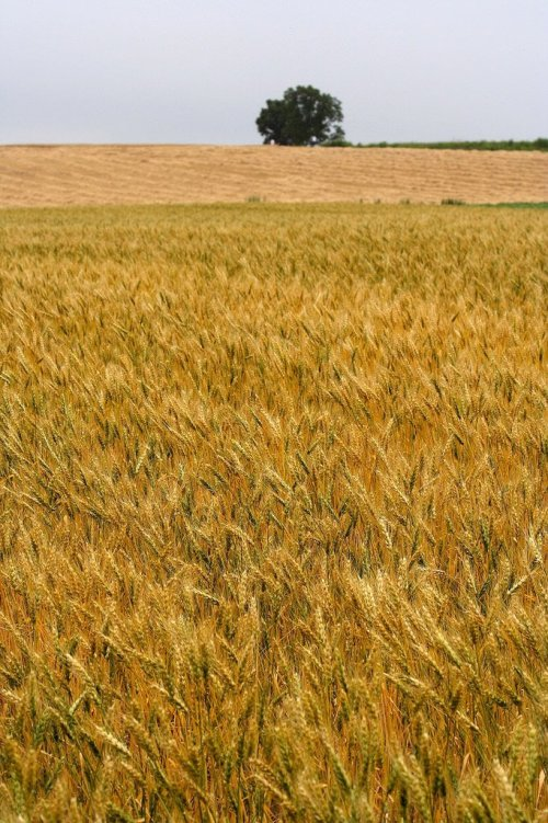 wheat_field_in_biei