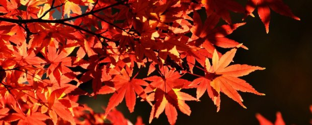 Autumn Leaves in Tokyo | Japan Koyo 2019