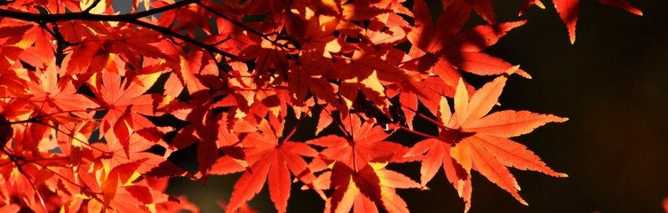 Autumn Leaves in Tokyo | Japan Koyo 2018