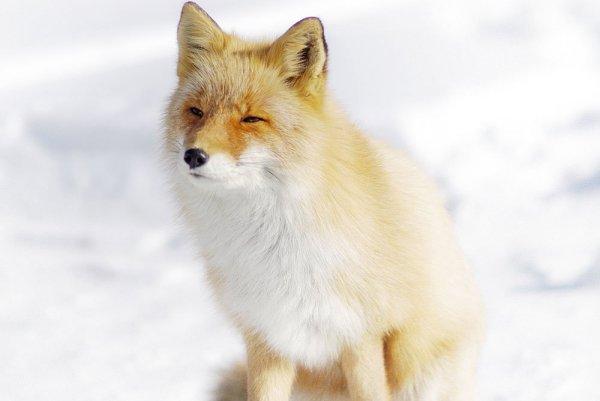 hokkaido_red_fox