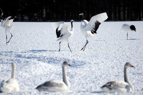 red_crowned_cranes_hokkaido
