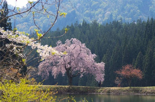 cherry_blossom_in_yamagata