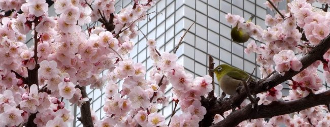 7 Best Places to See Plum Blossom in Tokyo