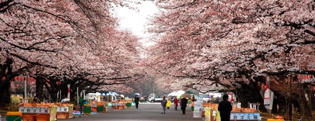 3 Days in Tokyo Spring Itinerary – Cherry Blossom