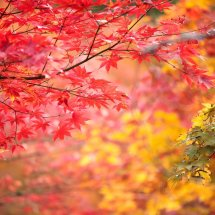 enkoji_autumn_leaves-1