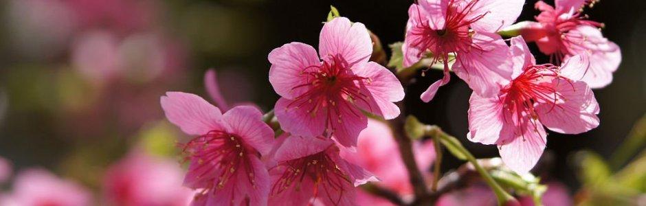 3-Day Okinawa Itinerary for Cherry Blossom
