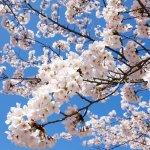 Cherry Blossom in Fukuoka