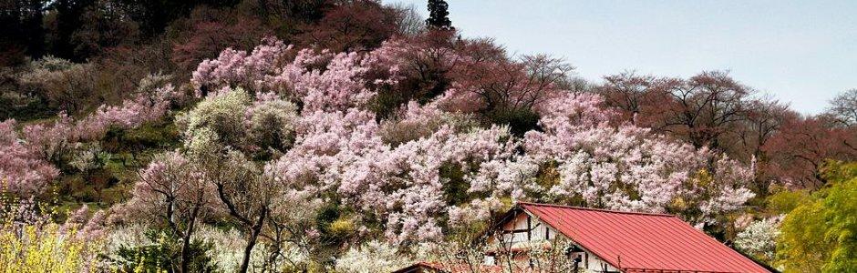 Cherry Blossom in Hanamiyama Park