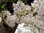 2020 Japan Cherry Blossom Forecast
