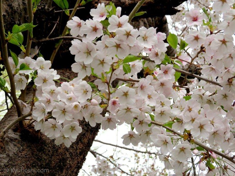 Cherry Blossom Festival 2020 2020 Japan Cherry Blossom Forecast | Kyuhoshi