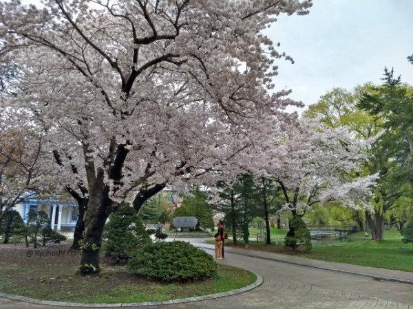 2019 Japan Cherry Blossom Forecast Nakajima_park_sakura_sapporo
