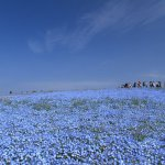 Hitachi Seaside Park – Travel Guide