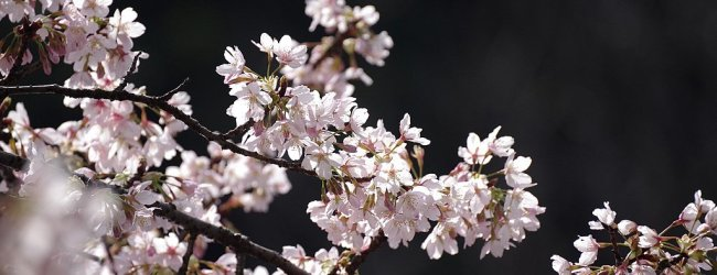 5 Best Places to See Cherry Blossom in Yokohama