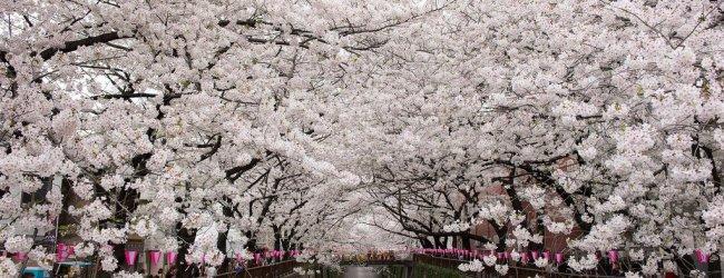 8 Best Cherry Blossom Festivals in Tokyo