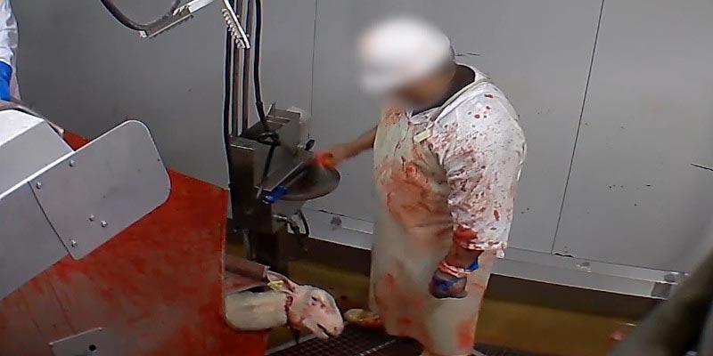 Photo d'un mouton saigné dans l'abattoir d'Ales - France