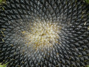 sunflower-210803_1280